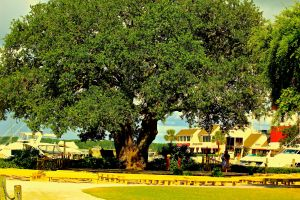 Harbour Town's Liberty Oak Tree Graces Us Nightly While Gregg Russell Sings to the Children