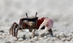 Fiddler Crab close-up