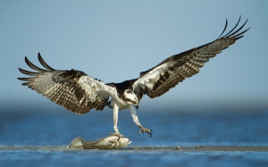 predator bird catches fish